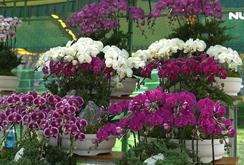 Ghi nhanh: Sôi động thị trường hoa lan chơi Tết