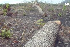 Đầu độc rừng bảo tồn để trồng thanh long tại Bình Thuận