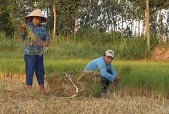 Hạn, mặn khốc liệt: Nông dân đau đớn cắt lúa cho bò ăn