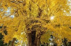 Cây rẻ quạt 800 tuổi ở Fukushima