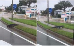 Mất nhà vì bão Irma, cá sấu lang thang ở Florida