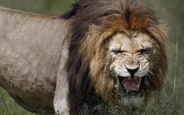 """""""Kẻ săn trộm"""" bị đàn sư tử xé xác"""