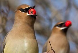 """Mỹ: Hoang mang vì... chim say xỉn, """"quậy phá"""""""