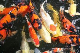 Chàng trai phố núi bỏ hàng tỉ đồng để nuôi cá nghìn USD