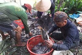 Thu hoạch cá ở Đa Phước