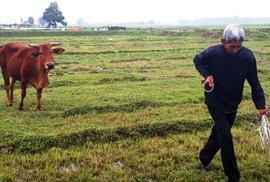 """Đùn đẩy trách nhiệm xử lý HTX """"ép"""" dân đóng phí trâu, bò gặm cỏ"""
