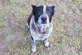 Dù điếc và mù một phần, chó cưng vẫn bảo vệ cô chủ 3 tuổi