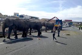 Xe đoàn xiếc lật, voi sổng trên cao tốc