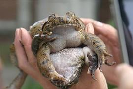 """Có loài """"ếch đại gia"""" giúp quý ông """"thăng hoa"""" ở Lạng Sơn?"""