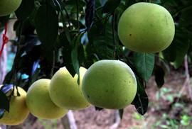 Choáng ngợp với vườn bưởi toàn quả là quả ở Hương Khê