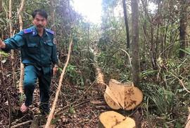 """Làm rõ việc khu rừng phòng hộ bị """"lâm tặc"""" đốn hạ"""