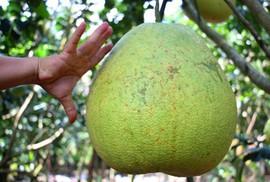 Bưởi khổng lồ 8 kg, giá một triệu đồng mỗi trái ở miền Tây