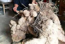 Chuyện lạ: Củ khoai khủng nặng gần 70kg ở Nghệ An