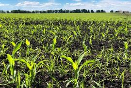 Bộ Y tế Canada bảo lưu kết luận về tính an toàn của thuốc trừ cỏ Glyphosate