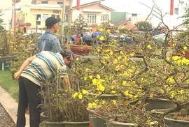 Phập phù hoa kiểng Tết (*): Nhà vườn lãnh đủ