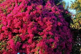 """Phát sốt với cây hoa giấy """"khổng lồ"""" hút khách du lịch ở Lý Sơn"""