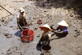 Sướng với cá đồng quẫy loạn xạ ở đìa vừa tát tại huyện Trần Văn Thời