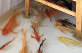 Quán cà phê độc lạ có cá bơi lội dưới chân khách