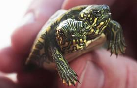 Phát hiện rùa 2 đầu cực hiếm, sống khỏe mạnh