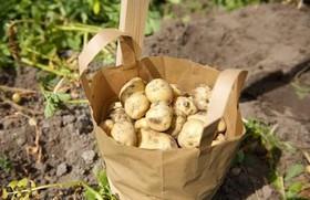 Bí mật loại khoai tây đắt nhất thế giới từng có giá cả nghìn USD/kg