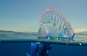 Khám phá loài sứa lửa với những chiếc xúc tu cực độc