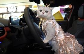 Kiếm bộn tiền khi cho mèo cưng làm mẫu xe hơi
