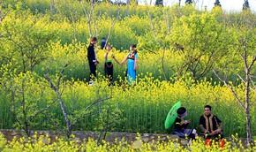"""""""Quên lối về"""" với cánh đồng rực vàng hoa cải ở Sa Pa"""