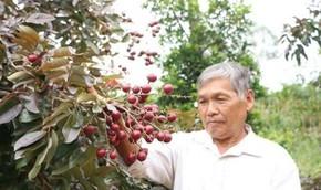 Nhãn tím thương lái Thái Lan lùng mua: Mỗi nhánh giá bạc triệu