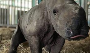 """Giữa """"tâm bão"""" dịch Covid-19, Vinpearl Safari đón bé tê giác mới chào đời với cái tên """"Chiến thắng"""""""