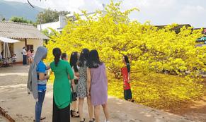 Sửng sốt trước vẻ rực rỡ choáng ngợp của cây mai vàng khổng lồ ở Đồng Nai