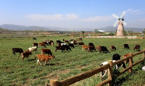 Doanh nghiệp tăng trưởng nhanh đàn bò sữa 130.000 con