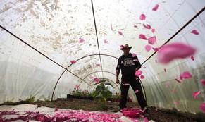 Người Syria hồi sinh bằng hạt giống 'vua của các loài hoa hồng'