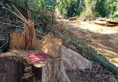 Doanh nghiệp lợi dụng khai thác gỗ vườn để phá rừng?