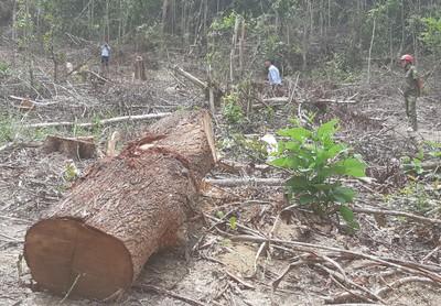 Thiếu quản lý, rừng phòng hộ bị phá nát