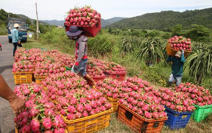Thanh long Bình Thuận lao đao vì giá sụt giảm kỷ lục