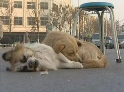 Chú chó không chịu rời xác bạn trong đêm giá lạnh