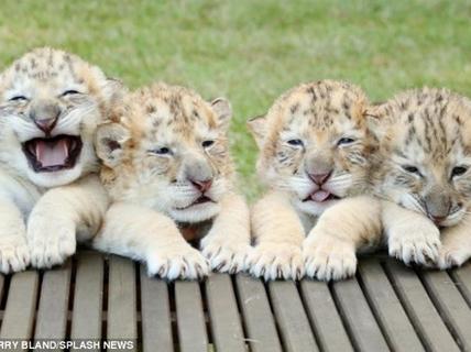 4 anh em hổ lai sư tử trắng đầu tiên thế giới