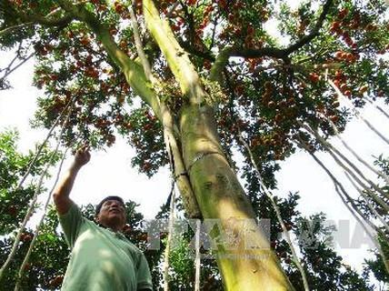 Choáng với cây quýt hồng cho đến 500 kg trái