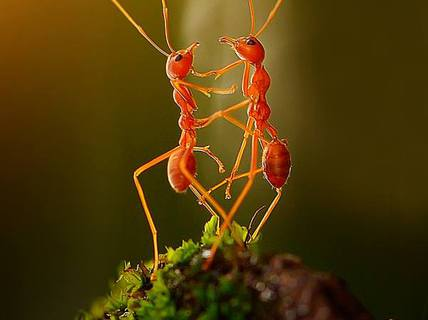 Kiến khiêu vũ say mê giữa vườn rêu