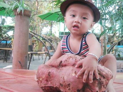 Gà bới, được củ khoai lang nặng 4,3 kg
