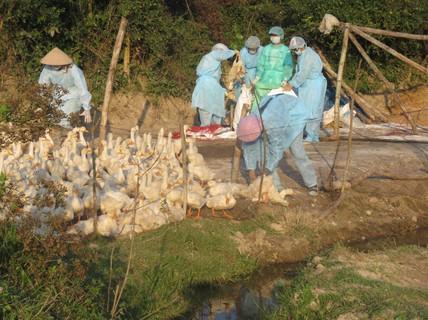 Tiêu hủy hơn 1.000 con vịt tại ổ dịch cúm A/H5N1