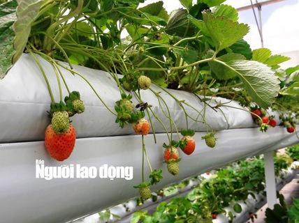 Mãn nhãn với vườn rau thủy canh tiền tỉ ở Đà Lạt