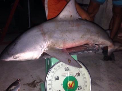 Cá mập trên sông Vàm Cỏ Tây chỉ là tin đồn?
