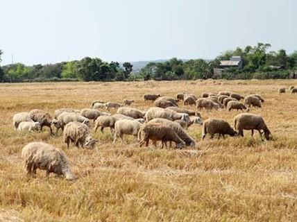 Ninh Thuận: Giá cừu tăng mạnh