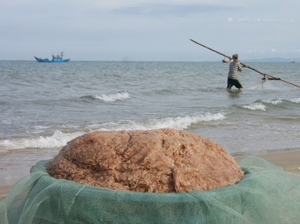 Hàng chục tấn ruốc dạt vào bờ biển Quảng Bình