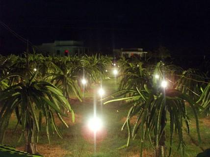 Chong đèn để thanh long vùng mưa lũ ra trái kịp Tết