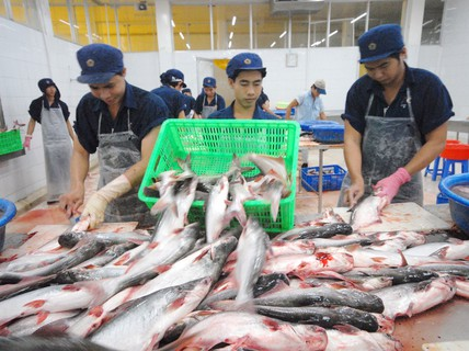 Cá tra bội thu: Tránh phụ thuộc Trung Quốc