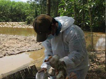 Thừa Thiên - Huế: 6.500 con vịt nhiễm cúm A/H5N6