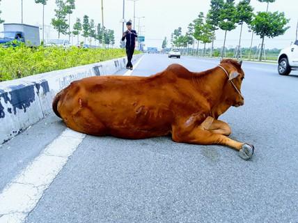 """Vụ con bò """"biến mất"""": Đã bán hay tiêu hủy?"""