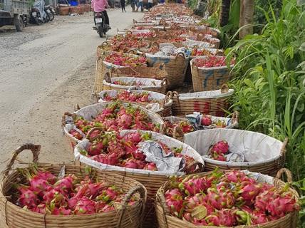 Tiền Giang vận động doanh nghiệp tiêu thụ thanh long giúp dân